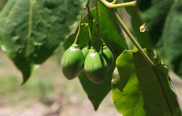 Kaffeepflanze auf einer Reise durch Costa Rica