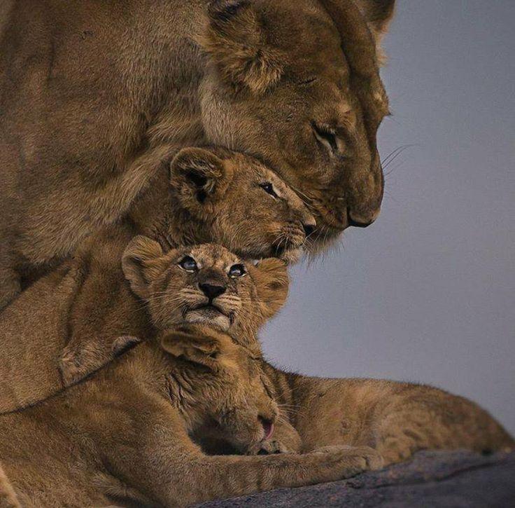 Linear Lion Hug