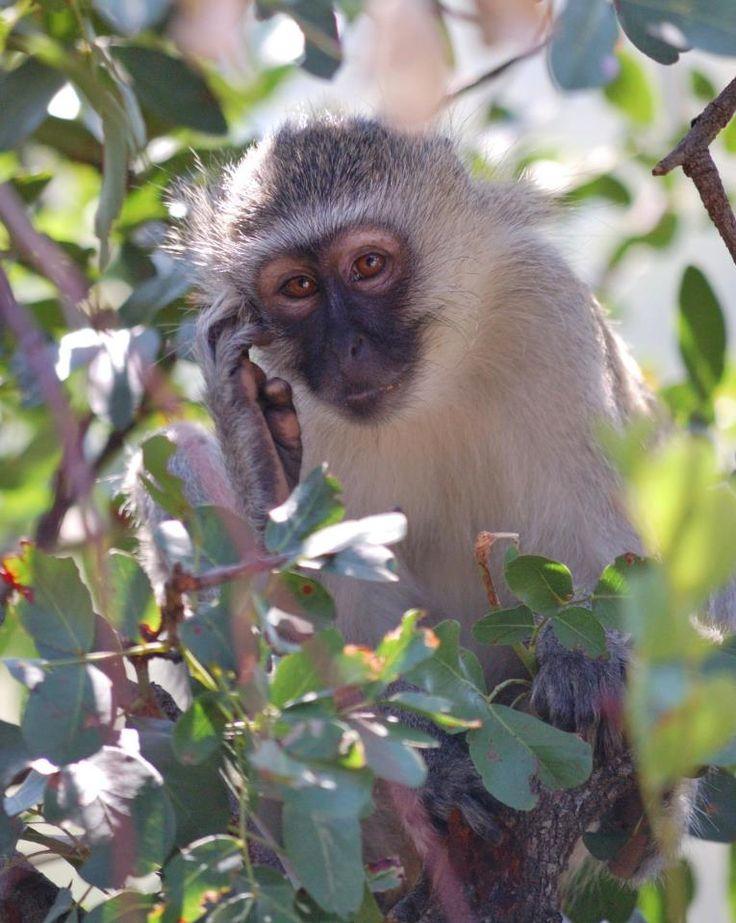 Vervet monkey, Kruger National Park. #EpicEnabled