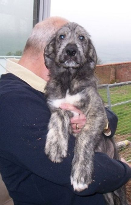 Irish Wolfhound Puppies For Sale