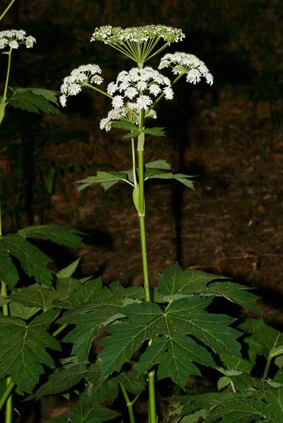Heracleum maximum - Common Cowparsnip, Cow Parsnip, Cow-parsnip