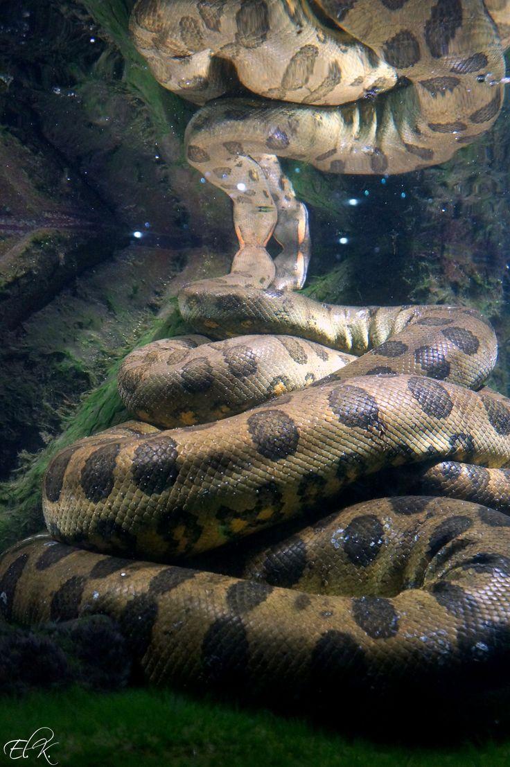 картинки живой анаконды асбеста имеют