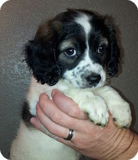 Cockapoo/Beagle Mix Puppy for adoption in SOUTHINGTON, Connecticut - Lady