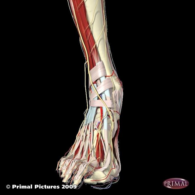 Ball foot anatomy