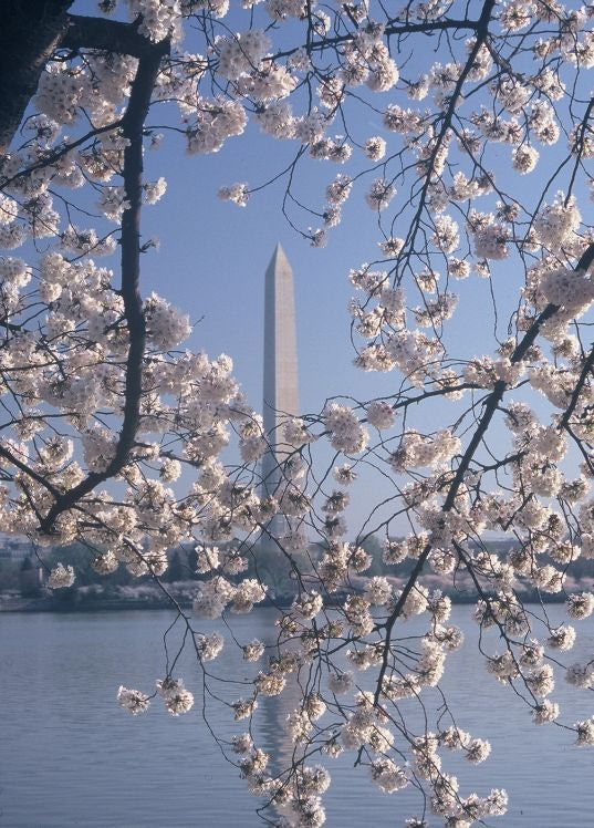 2014 National Cherry Blossom Festival Dates: March 20 – April 13. Washington, DC welcomes the arrival of spring with the National Cherry Blossom Festival, a tradition that showcases the beautiful gift of 3,000 cherry trees that the city of Tokyo gave to our nation's capital. The National Cherry Blossom Festival is an annual three-week, city-wide event