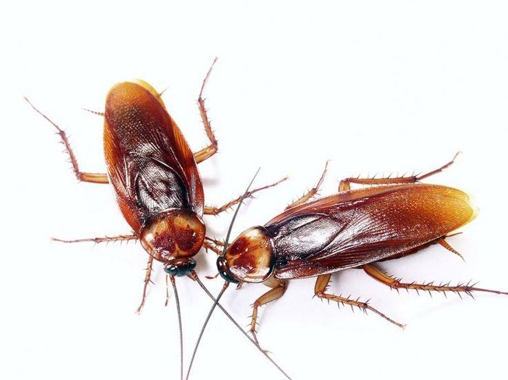 Cómo combatir las cucarachas sin usar insecticida - Notas - La Bioguía
