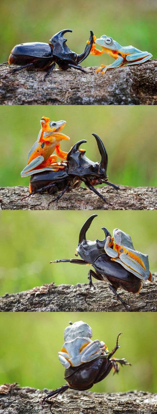 "handshake in the first photo, then............ ""Ride 'em Froggy!"""