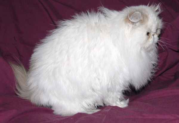 Central Indiana Cats for Sale Persian Cats for Sale Munchkin ...
