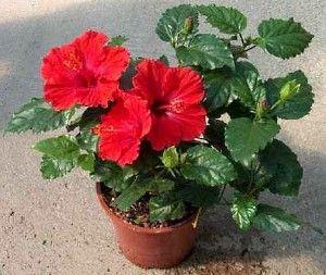 Китайская роза — условия выращивания и приметы о цветке.    Гибискус (китайская роза) – это высокое красивое растение с крупными яркими цветениями разного окраса. Прекрасный цветок является любимым среди опытных садоводов и просто любителей. Он не прихотлив в …