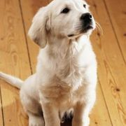 How to Clean Dog Pee Off of Hardwood Floors | eHow