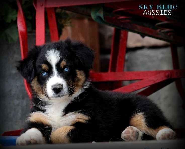 Australian Shepherd Puppies Available For Sale