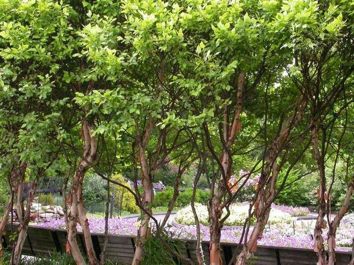 Betula nigra - River Birch - Zone 3