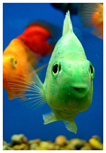 Parrotfish freshwater aquatic creatures pinterest for Parrot fish freshwater
