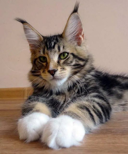 Maine coon dirty paws