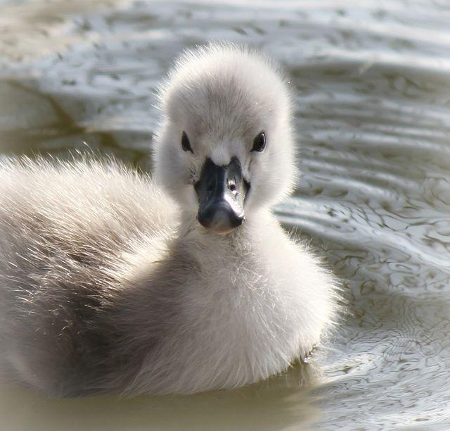 Cute Baby Swan