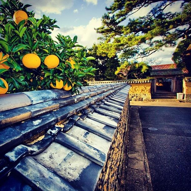 土塀と夏みかん #山口県_萩温泉郷