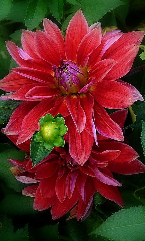 Dahlia - I love these but so do the slugs!