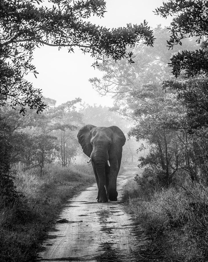 MOODY WALK by Jaco Marx Elephant, monochrome, Sabi Sands, South Africa. Jaco Marx: Photos #animals #photography