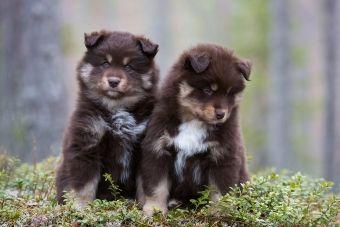 Kotimaiset koirarodut kansallisaarteinamme | Kennelliitto