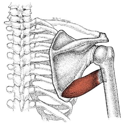 Teres Major Muslce Massage Therapy Shoulder Anatomy