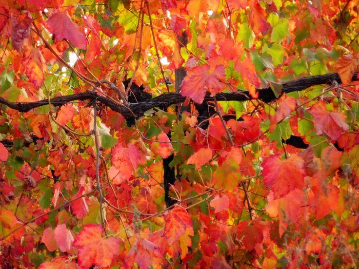 Grapevine Leaves - Bella Rosa (RE), Italy - October 2008 | Reggio Emilia | Italy | FotoDiSpalle