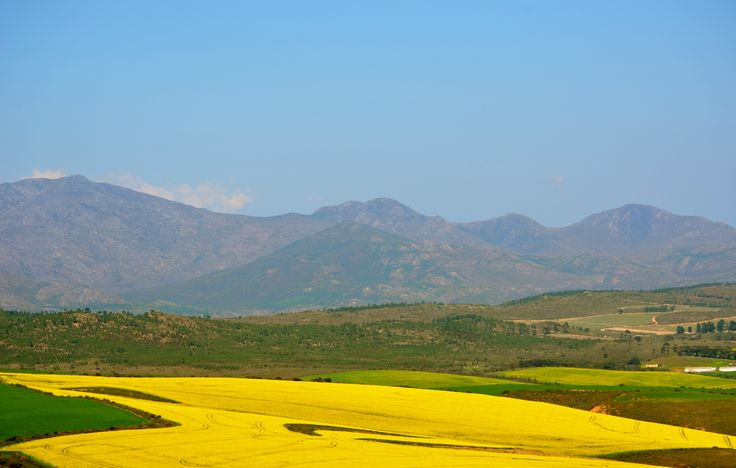 "Greyton is about 30 km from the N2 - turnoff just before Caledon. The well maintained road is ""filled with beautiful scenes""........grazing sheep, canola hills, lucern fields etc... #greyton #caledon #N2 #canola #canolafields"