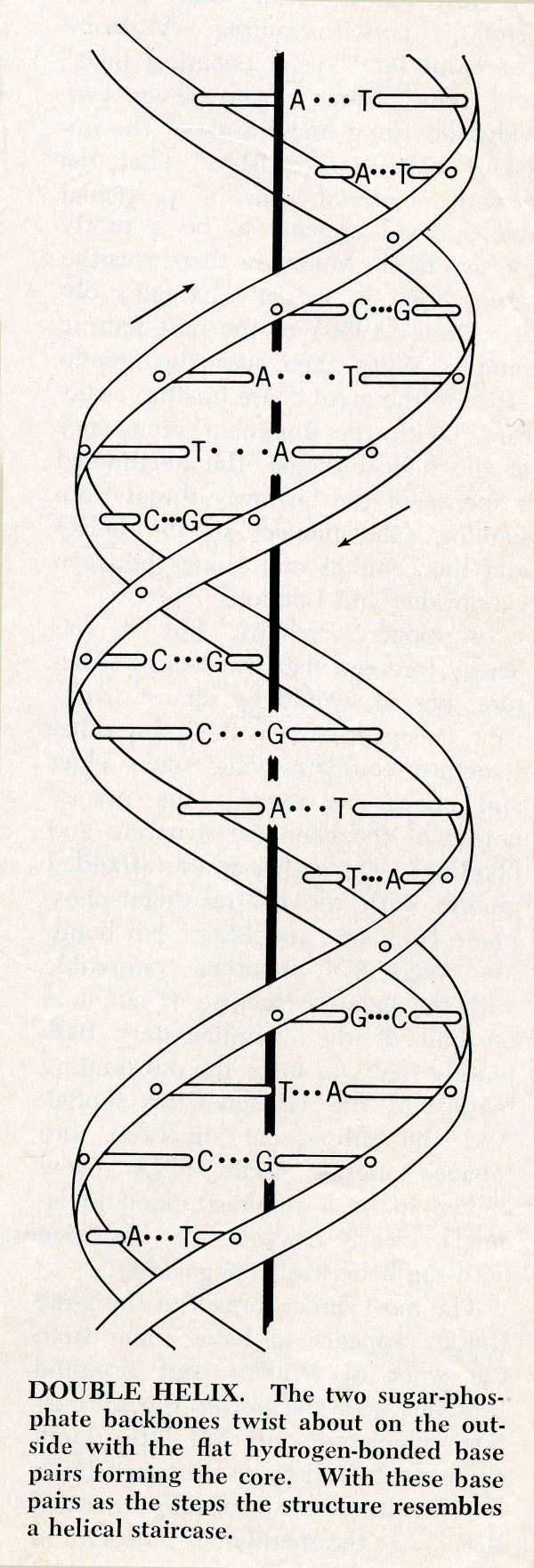 Here is a diagram of DNA which is much easier to understand than the model. It shows how the base pairs match up and the twisting helical structure.