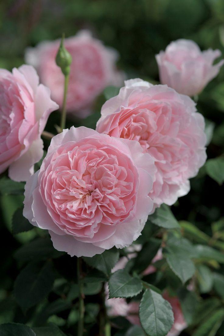 'Wisley 2008'   Shrub. English Rose Collection. David C. H. Austin (United Kingdom, before 2008).