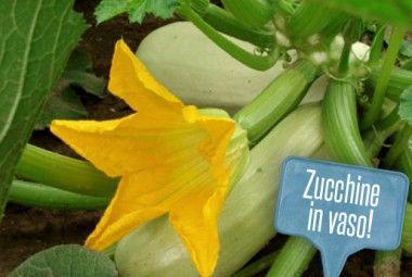 Orto sul balcone: come coltivare le zucchine in vaso!   Giardinieri in affitto