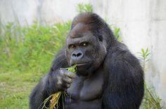 Gorila 'bonitão' arranca suspiros de mulheres em zoológico no Japão