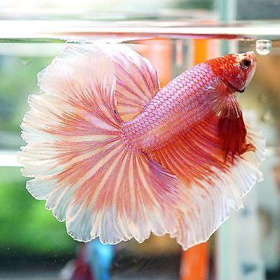Live Betta Fish Male Fancy Beautiful Sweet Pink Rosetail Halfmoon HM