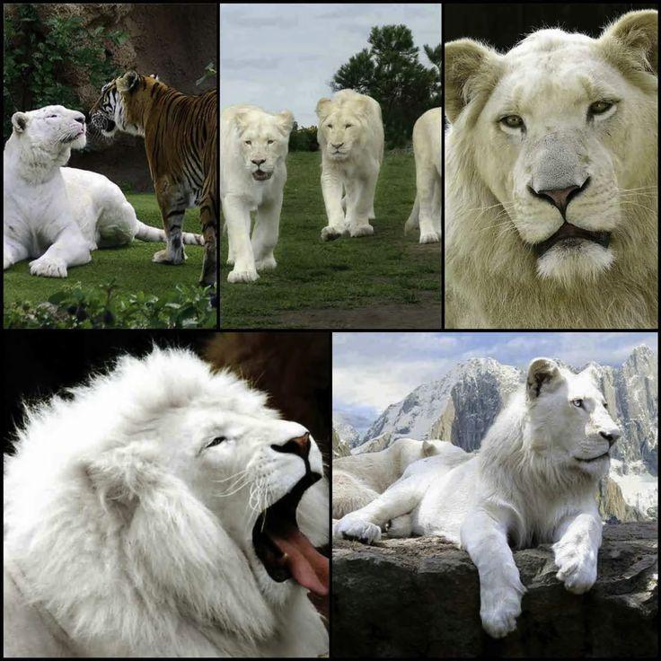 Lyric allele stitches lyrics : 709 best Tigers images on Pinterest | Animaux, Big cats and Predator