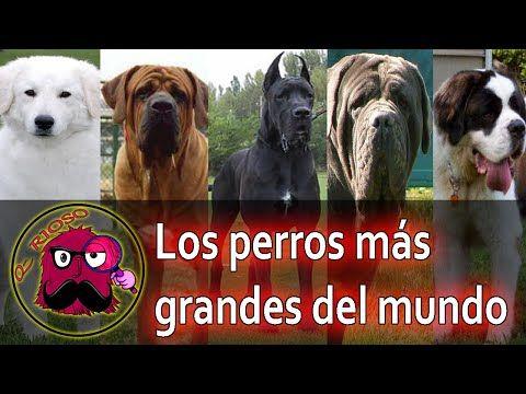Los Perros Mas Grandes del Mundo - YouTube