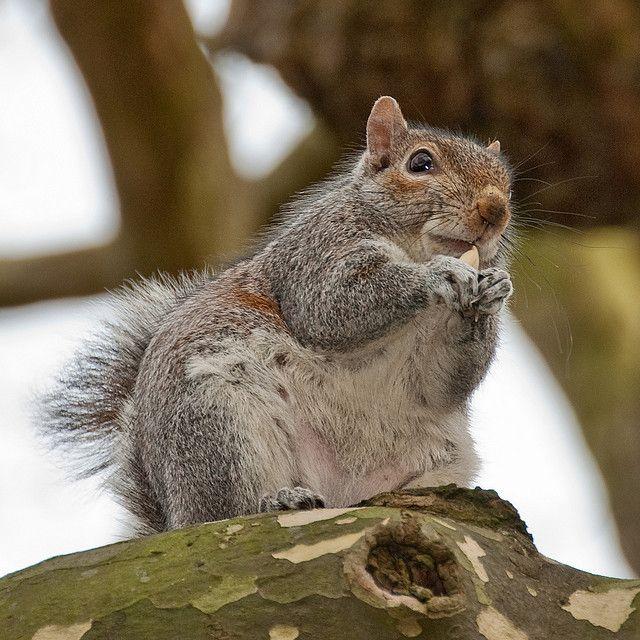 106 Best Squirrels Images On Pinterest