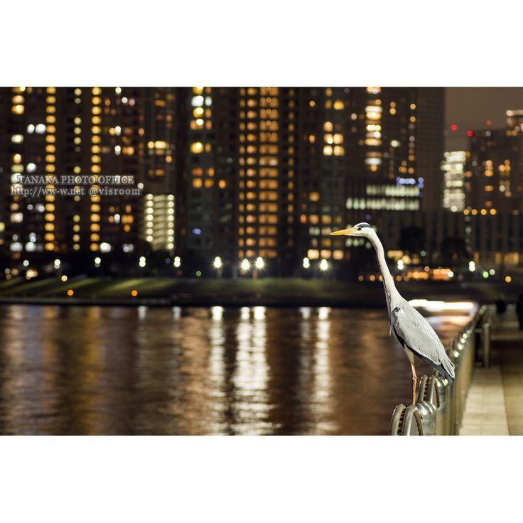 Grey heron staying on the balustrade beside Sumida river at night in Tokyo 隅田川脇の欄干の上にいるアオサギの夜景 #bird #night #river #tokyo #heron #animal