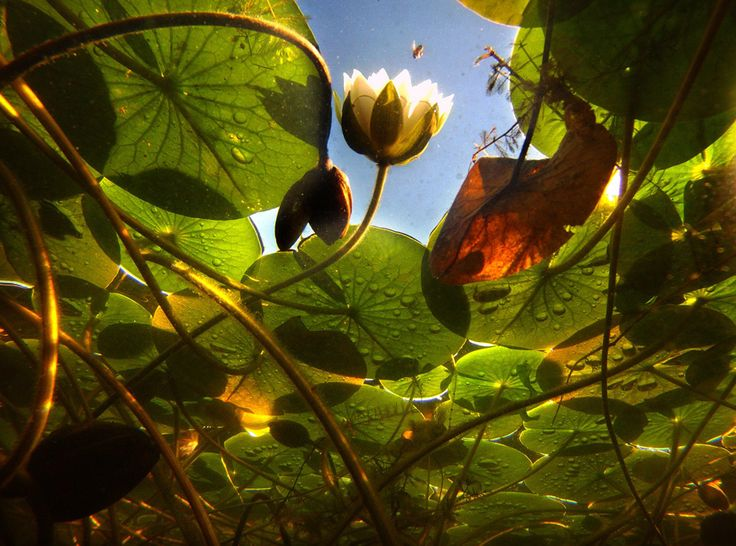17 Best images about water lily on Pinterest | Gilbert o ...