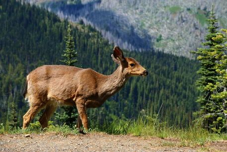 'Mule Deer - Maultierhirsch - Olympic National Park' by Christiane Schulze Art And Photography on artflakes.com as poster or art print $21.49