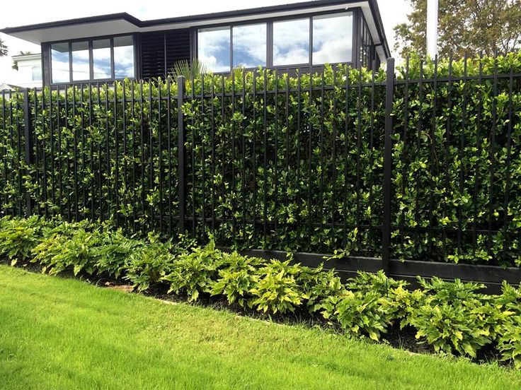 Love seeing our hedges flourish. This is one of our Ficus ...