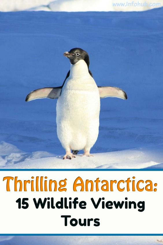 Wildlife Viewing in Antarctica: If a wild thing makes your heart sing and you long for an up-close view of leopard spots and Technicolor-like landscapes caught with your own eyes more than any other form of leisure, then you should give yourself a treat and check out the tours below to explore wildlife waiting to be observed on your next holiday trip.
