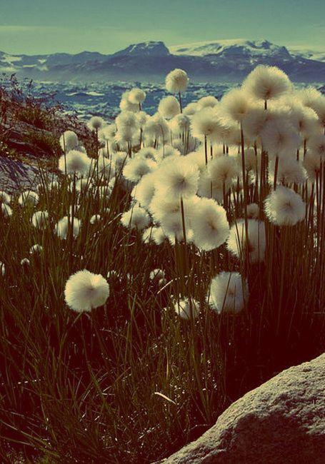 mountainside dandelions