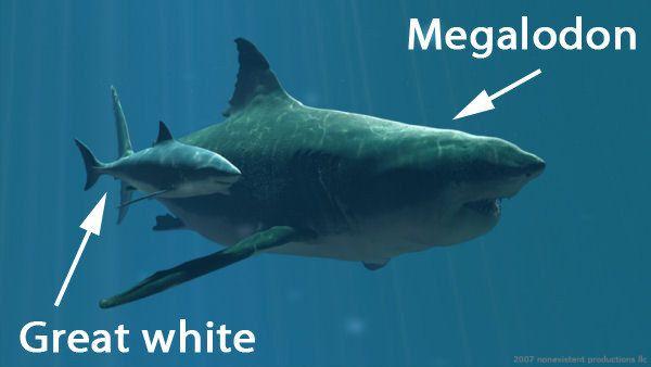tiburón blanco y tiburón megalodon, este crecía hasta llegar a los 45 metros. Sus dientes eran del tamaño de un brazo humano.