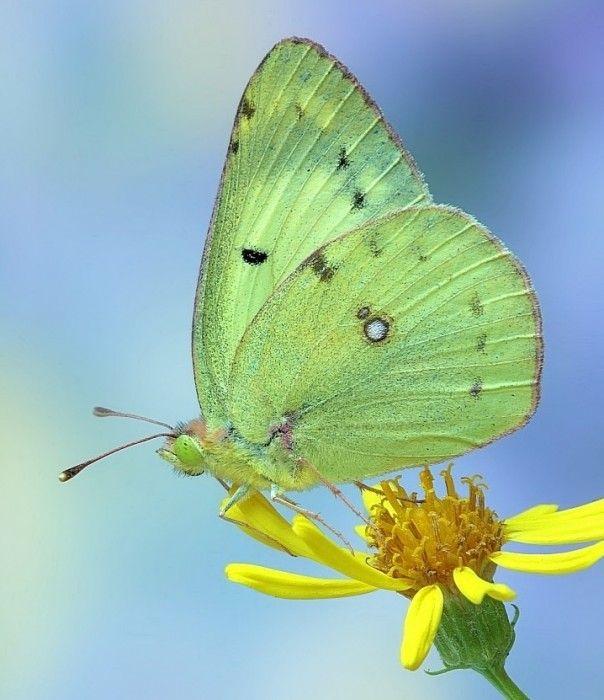 mariposas verde fotos imagenes