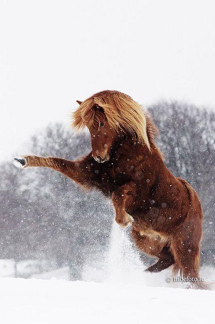 Ein toller Ausdruck von Kraft! Equine horse pony equestrian caballo pferde equestrian stallion gelding mare foal