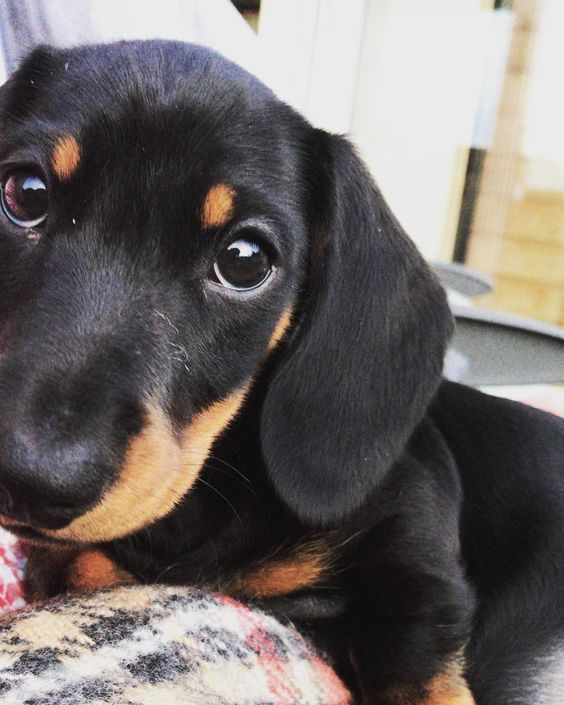 Everything You Need to Know About a Dachshund #dachshund #dogs