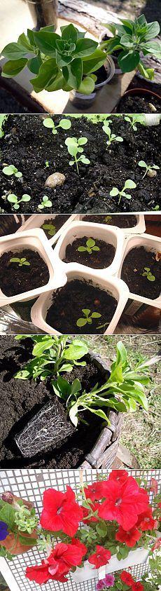 Как вырастить хорошую рассаду петуний