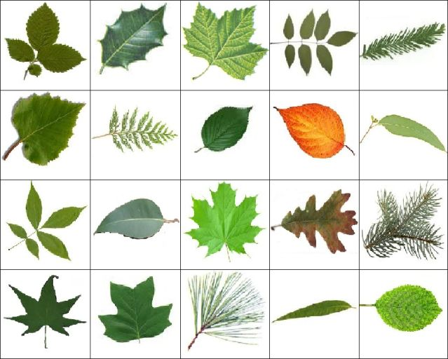 different trees and their names leaves images quiz by 12bball
