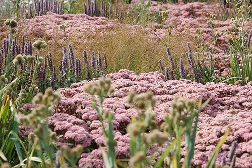 Agastache foeniculum, Sedum X 'Matrona' et Eryngium yuccifolium.  Piet Oudolf, designer.