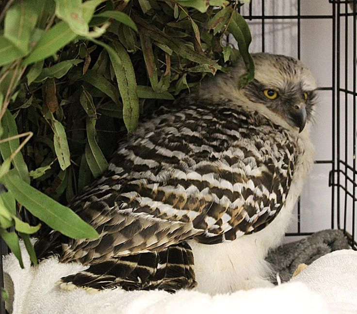 This is Artemis. He is a Powerful Owl who was brought in to our #RSPCAWildlifeHospital‬. He is quite young and was slightly concussed, so it was assumed that he may have fallen out of his nest. The vets checked him over and there seemed to be nothing wrong. He was given pain relief in case he was a little tender from the suspected fall. Artemis is now in care until he is old enough to face the world himself. Best of luck Artemis!