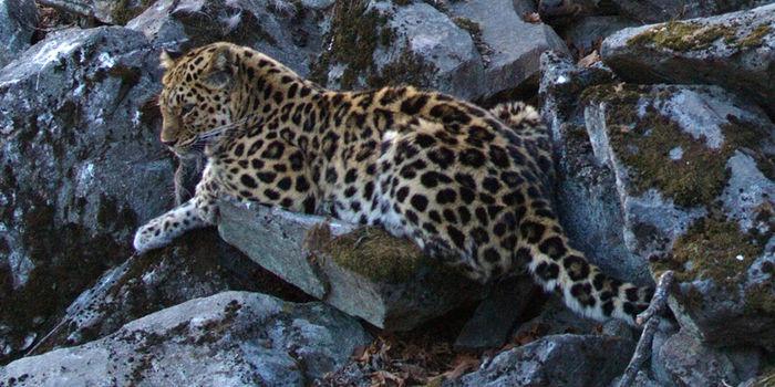 Erfolg in Russland: Nach 12 Jahren Arbeit des WWF wird nun ein Nationalpark errichtet, der die beinahe ausgestorbenen Amur-Leoparden schützt! Helft uns und unserem Amur-Leoparden-Projekt, indem ihr 5€ oder mehr spendet oder zeigt eure Unterstützung durch einen Repin! https://bit.ly/Amur_Leoparden_Spende     © Valerii Maleev / WWF
