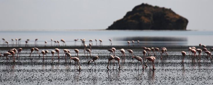 Lesser Flamingo at Lake Natron in Tanzania into Great Rift Valley